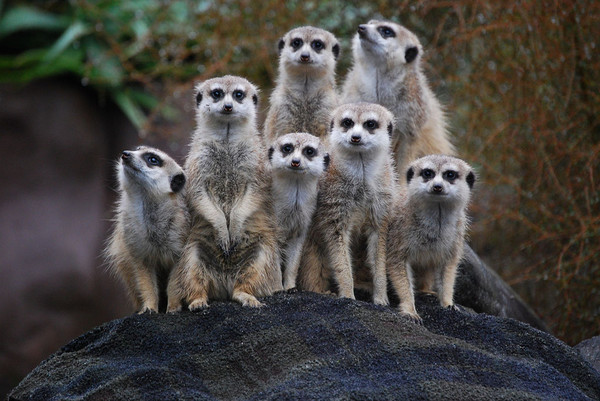 In defense of meerkats